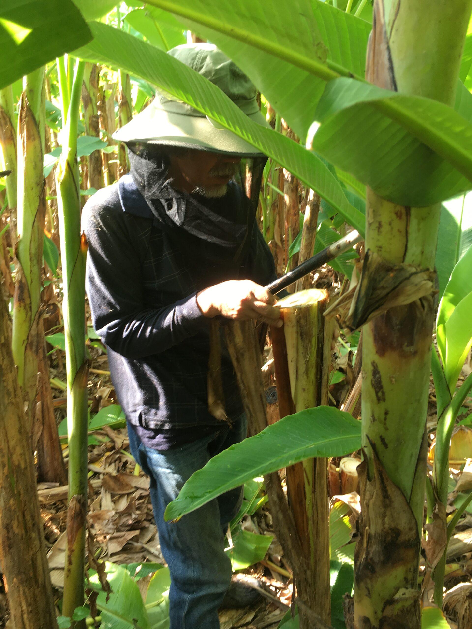 Come Coltivare Un Banano filo di banano – tessitura filippini